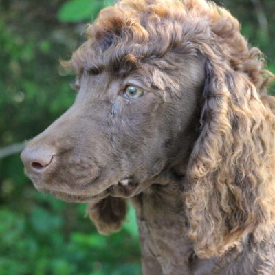 Standard Poodles for Sale | Poodles of Willow Glade