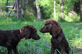 Family Poodles