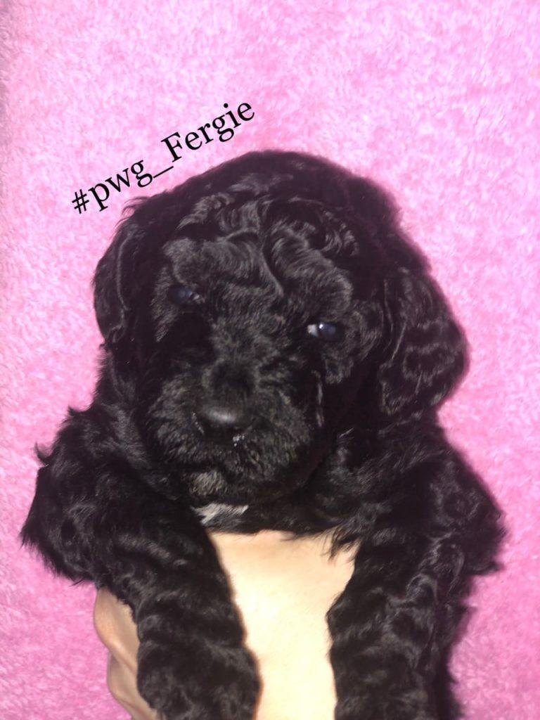 Fergie poodle