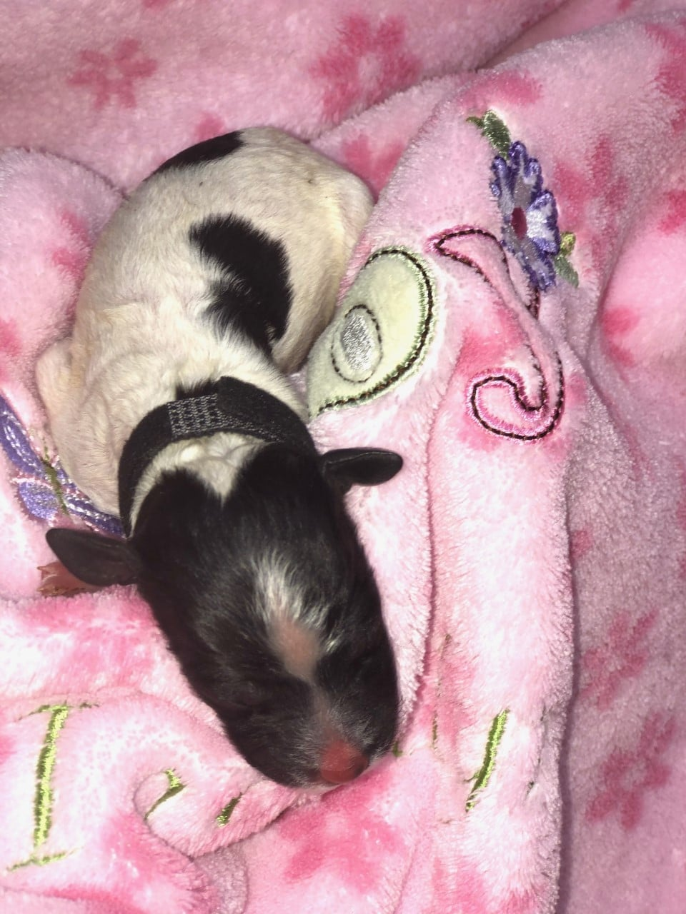 isla new born poodle