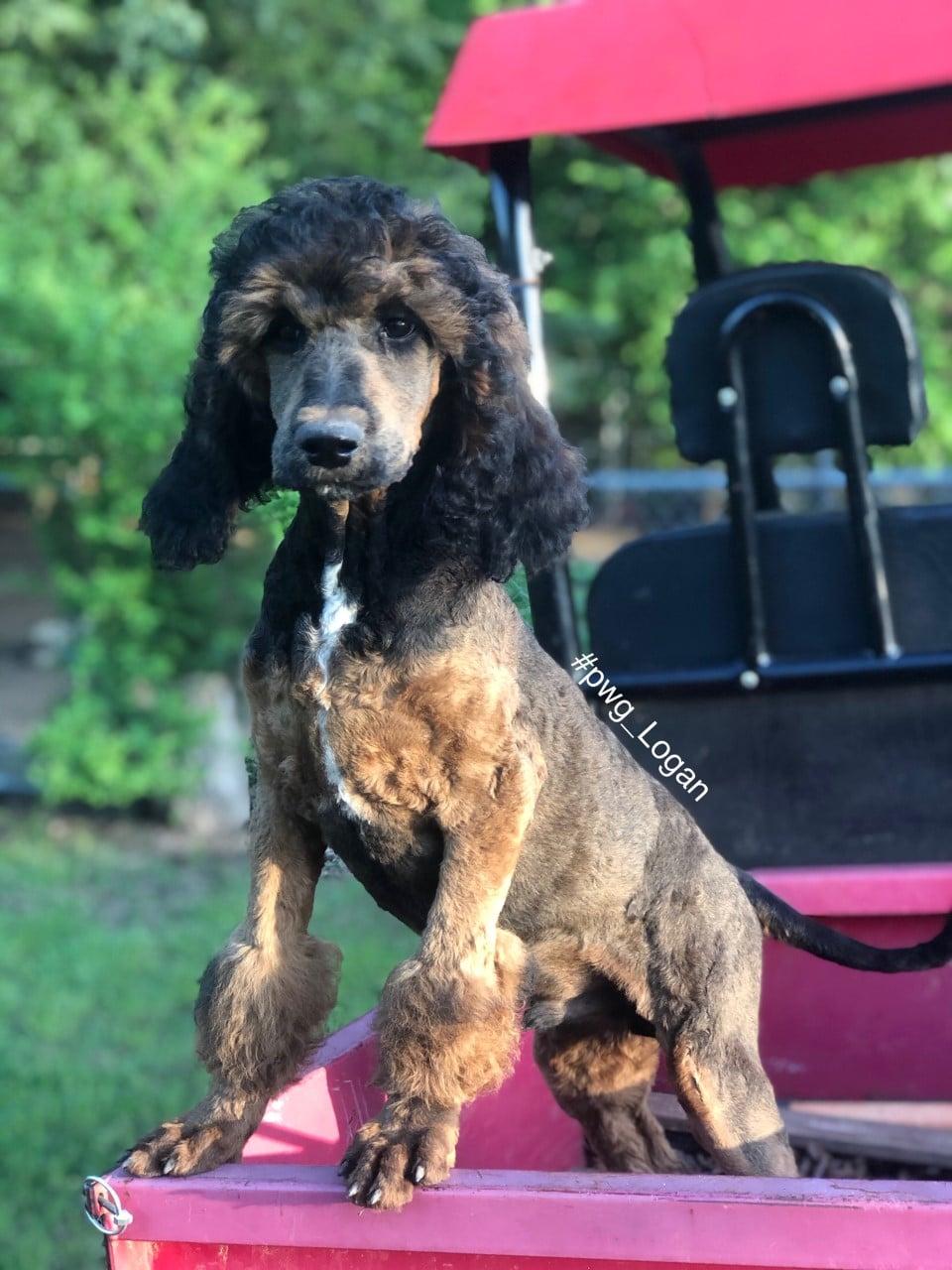logan baby poodle