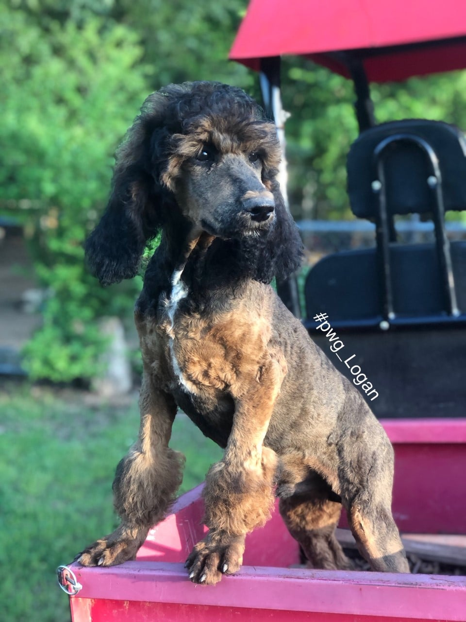 logan poodle for sale