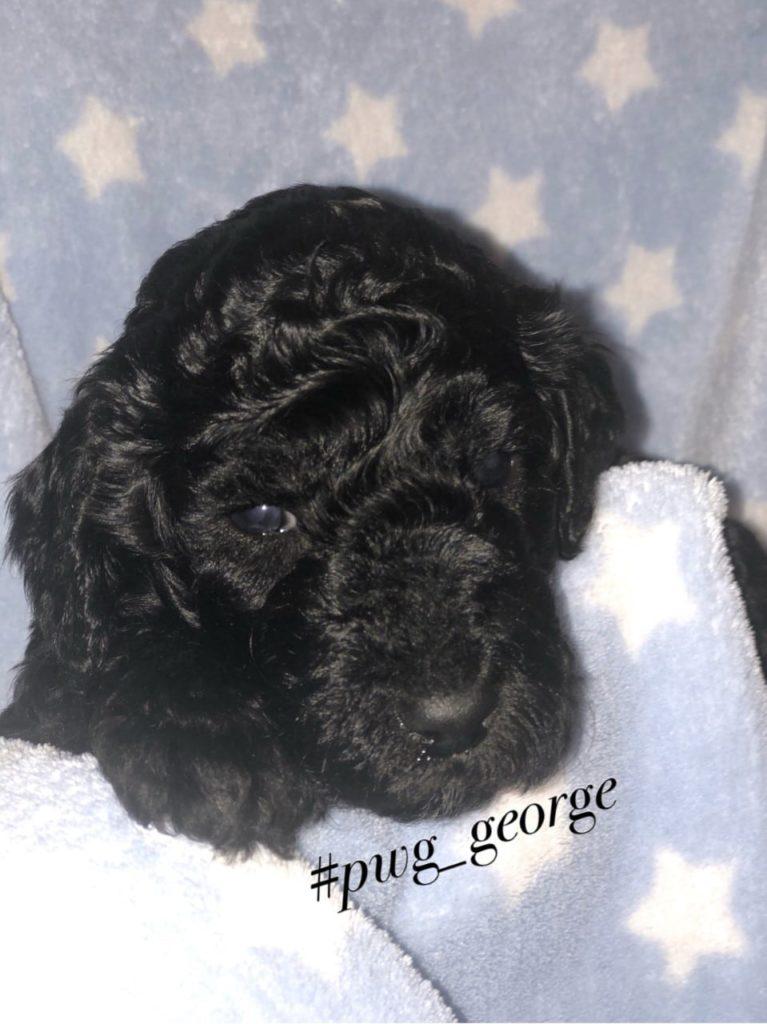 george poodle
