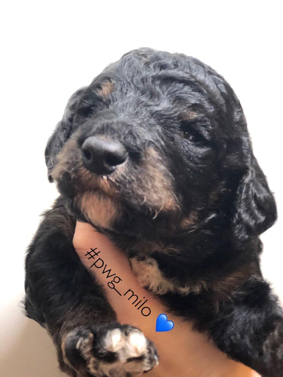 Milo puppy poodle