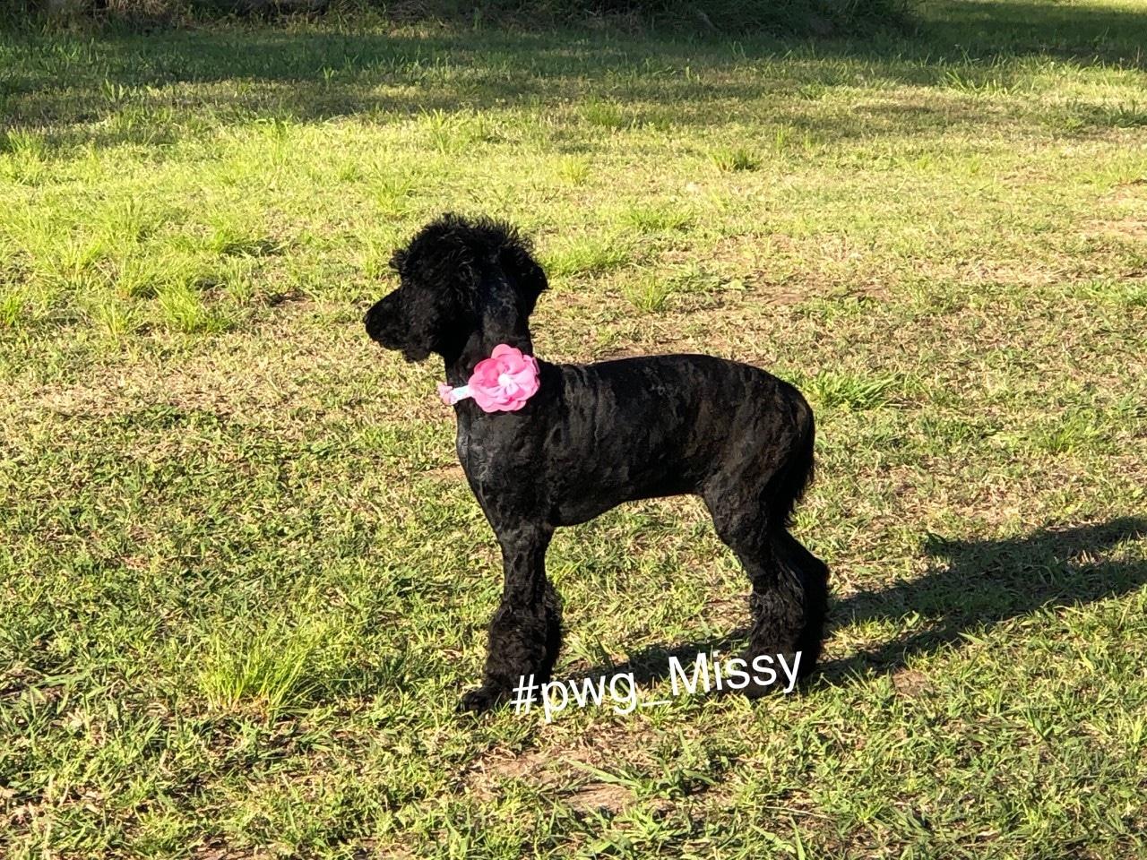 pwg_missy poodle for sale
