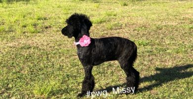 Poodles for Sale in Texas