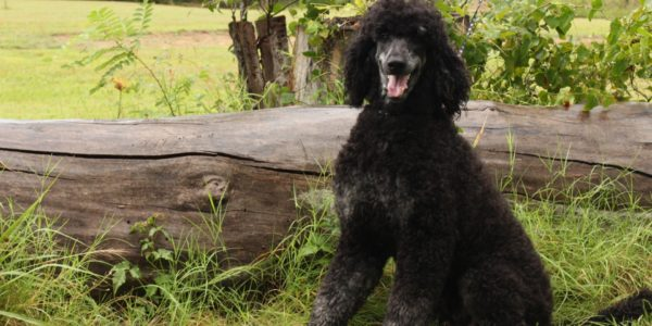 The Single Strategy To Use For Poodle Puppies