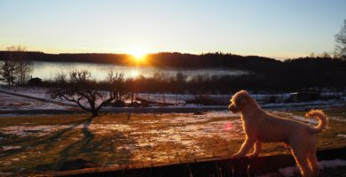 Poodles of Willow Glade - Poodle Puppies for Sale | Standard Poodles for Sale Near Me